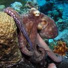 Octopuss in sea Octopus as Pets wallpapers