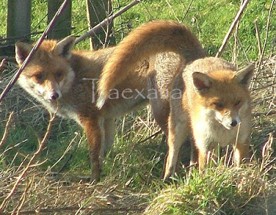 red foxes mating images