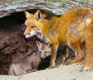 photographs of red foxes done