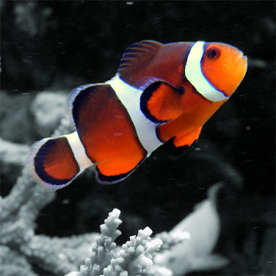clown fishes photos gallery