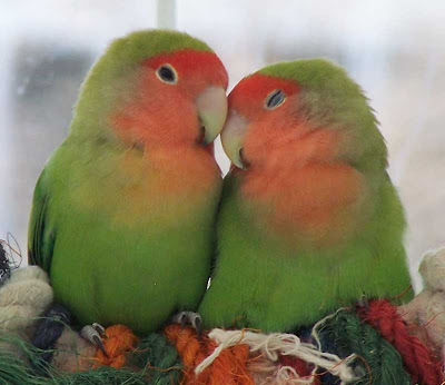 kissing love birds video pics<br />