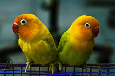 love birds cute wallpapers<br />