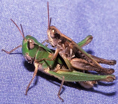 images of grasshoppers mating photo gallery