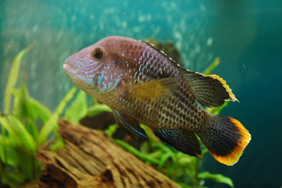 youtube of green terror cichlid food images