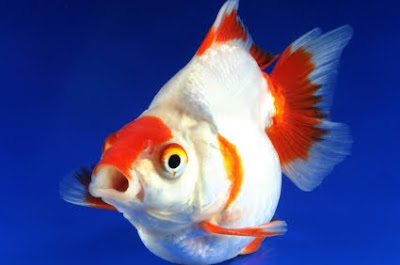 Free downloading pictures of Fringtail golden fish