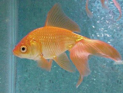 original orenge yellow gold fish in ocean