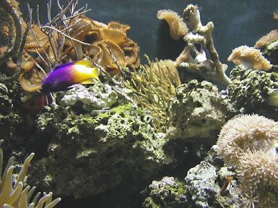 beautiful purple yellow goldfish youtube