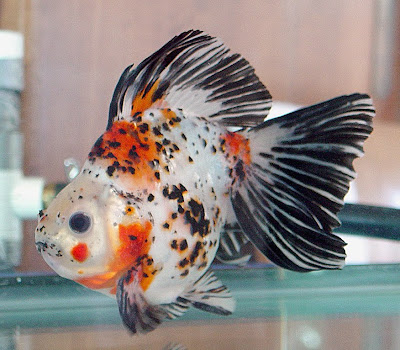 pretty american aquarium gold fish wallpapers