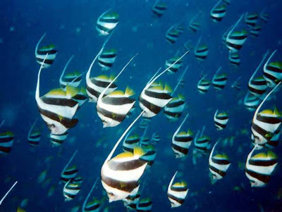 Beautiful video pictures of heniochus fishes