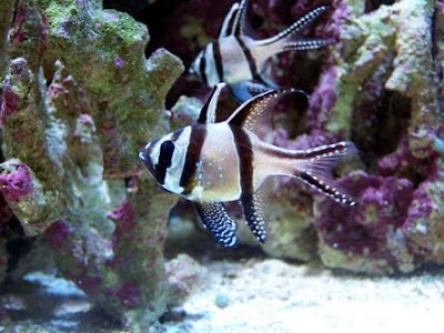 Pair of Pterapogon kauderni fishes in salt water photo gallery