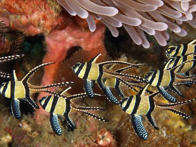 Beautiful images of Pterapogon kauderni fishes in ocean/sea