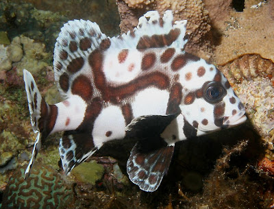 Beautiful Harlequin Sweetlips fishes pictures
