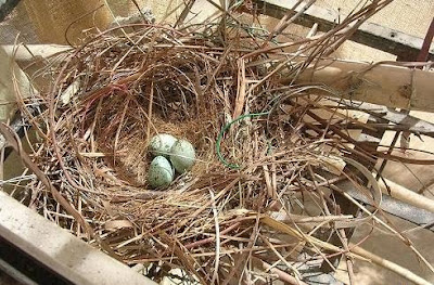 Crows nest and eggs video pics