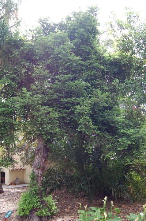 Teix (Taxus baccata) Alqueria Laborde. Gandia