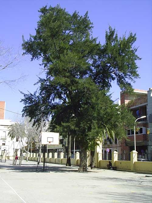 Casuarina (Casuarina equisetifolia) Gandia
