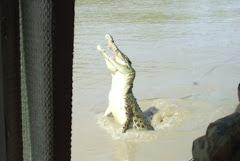 Jumping crock, Adelaide river, NT