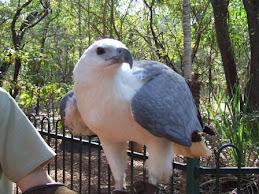 the White breasted sea eagle
