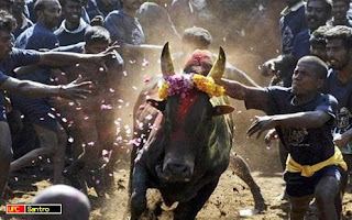 Jallikattu – Bulling Fighting in Indian Style