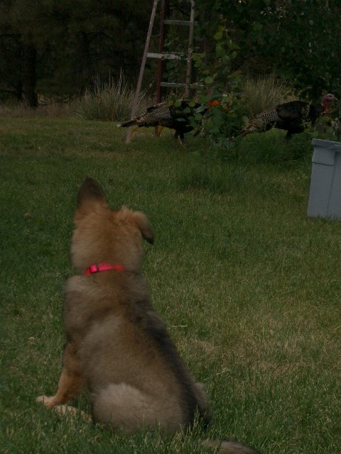Stalking the turkeys