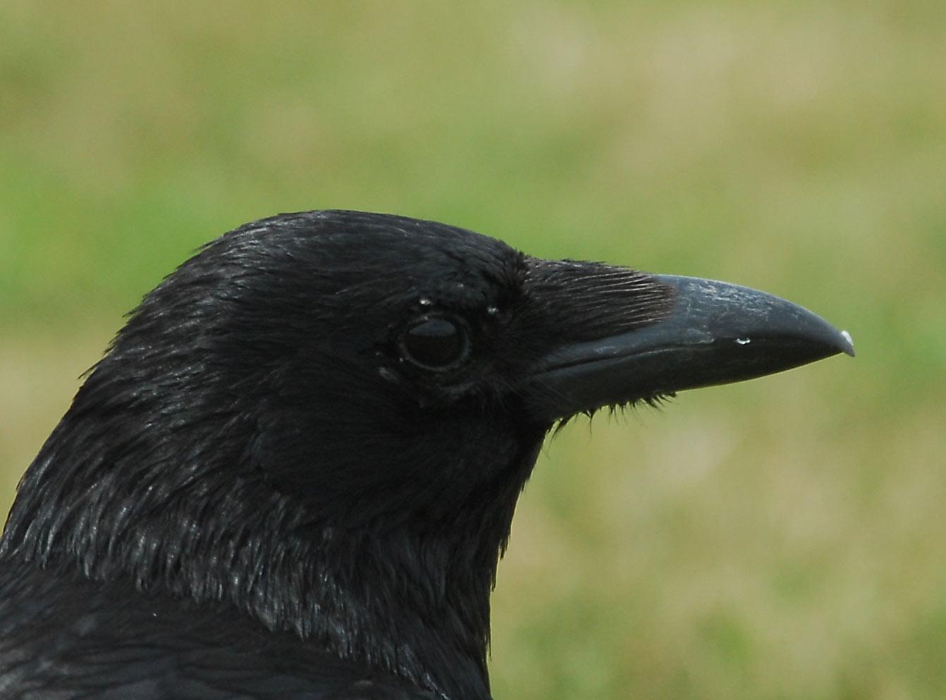 http://3.bp.blogspot.com/_d6MUaJRC1gk/TEIhlh-wHTI/AAAAAAAAB6Q/COTMOxvvWDE/s1600/crow1.jpg