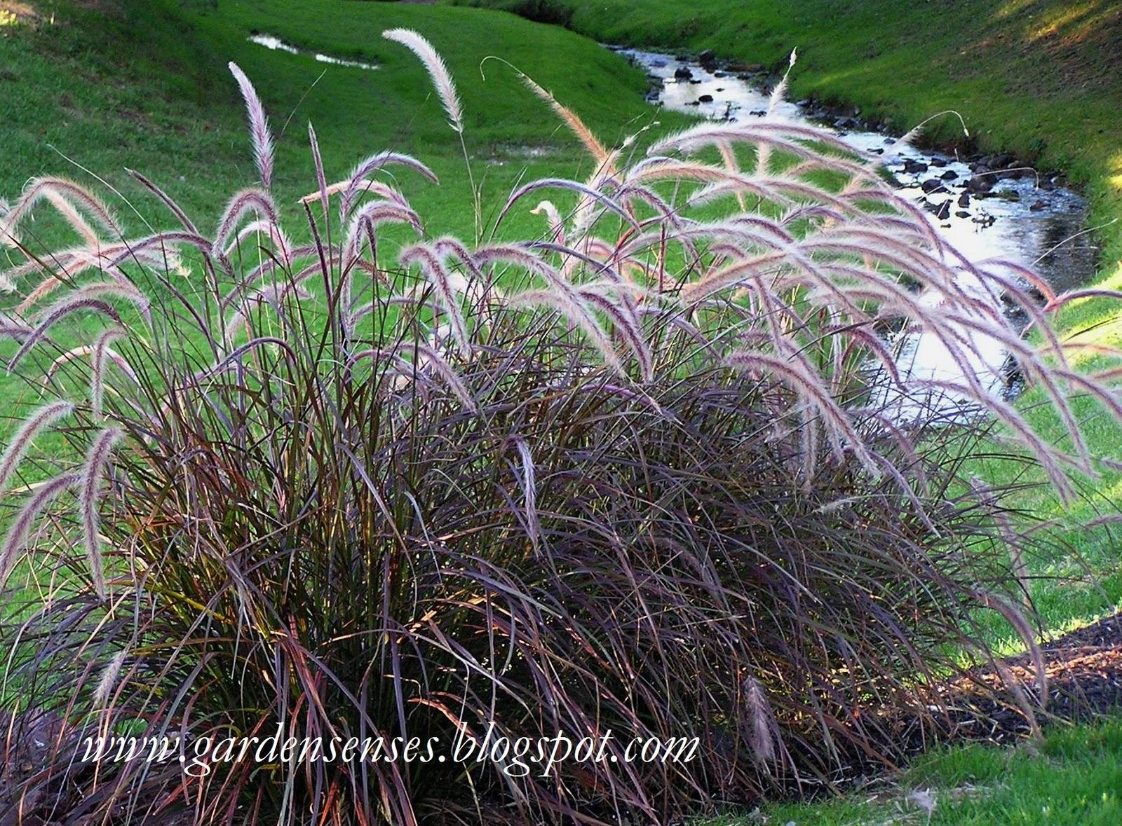 Garden sense great grasses for Purple grass