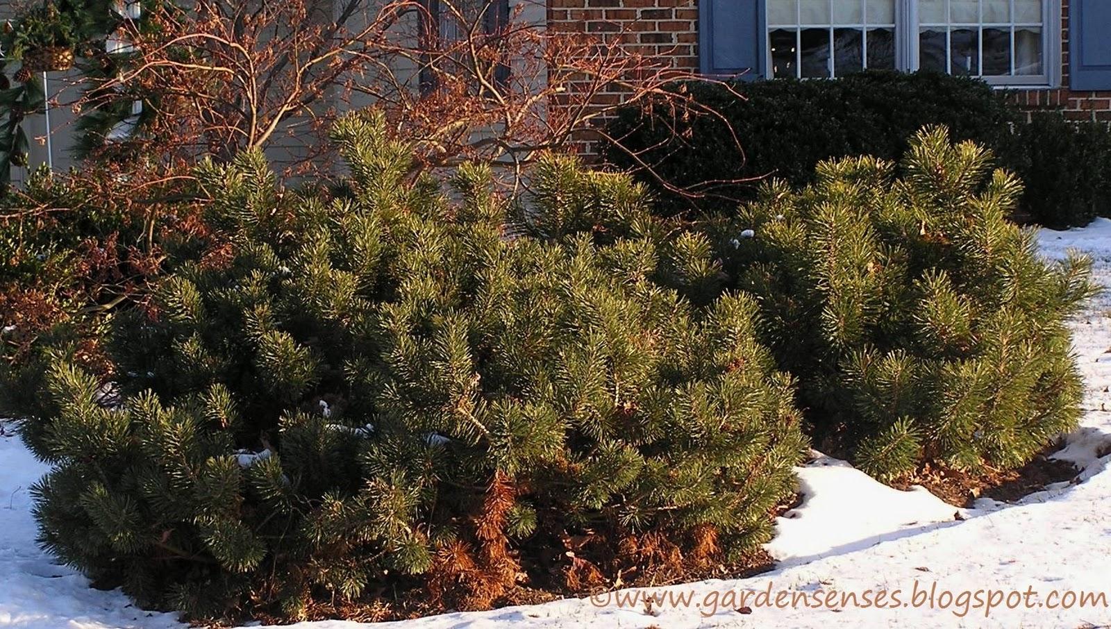 Garden sense evergreen shrubs for Tall evergreen shrubs