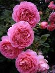 Roses Tetap Menawan (Sumber Dari Blog)
