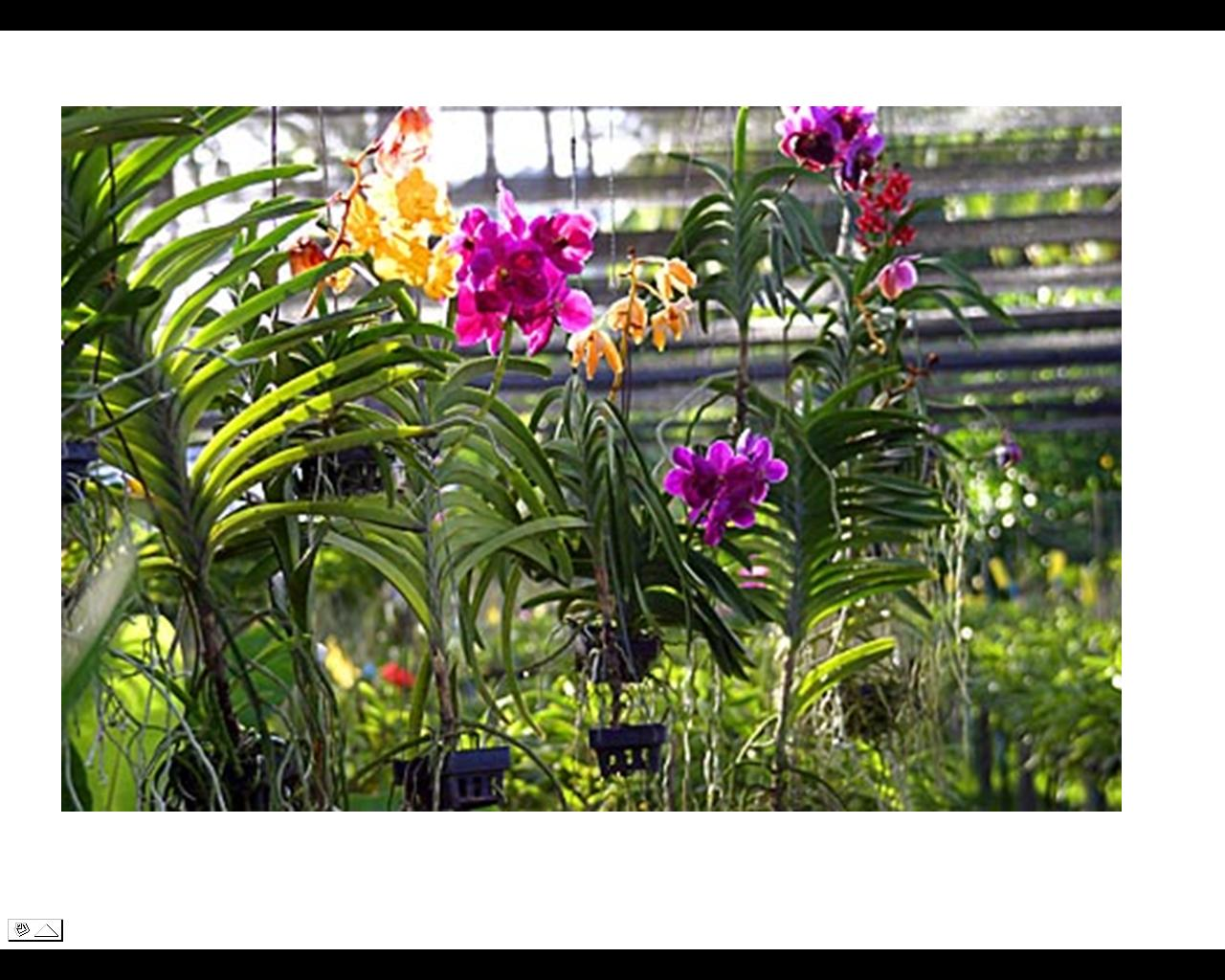 Flowers of bangladesh orchid flower exotic and refined appearance making them a sophisticated floral gift for any occasion the intricate beauty of the orchids symbolize a wide variety buycottarizona