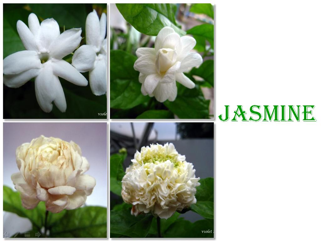 Flowers Of Bangladesh Jasmine