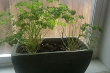 Windowsill parsley