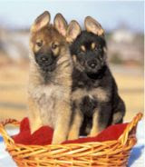 واحد افضل انواع الكلاب العالم