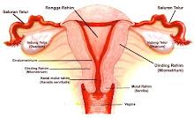 Genitalia Interna Wanita