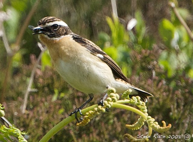 [whinchat2]