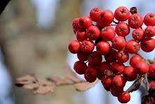 Rönnbär