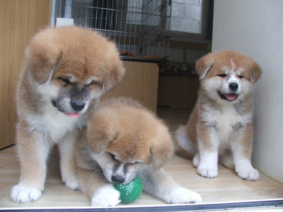 CHIOTS A 6 SEMAINES