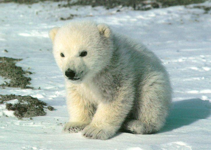 Cute PolarBear Cub Sitting On Snow