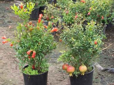 Id es arbustes fleurs au jardin forum de jardinage - Difference entre cafard et cafard de jardin ...