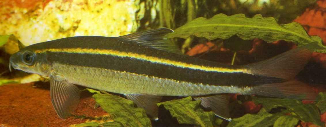 Epalzeorhynchos kalopterus - Flying Fox (fish)