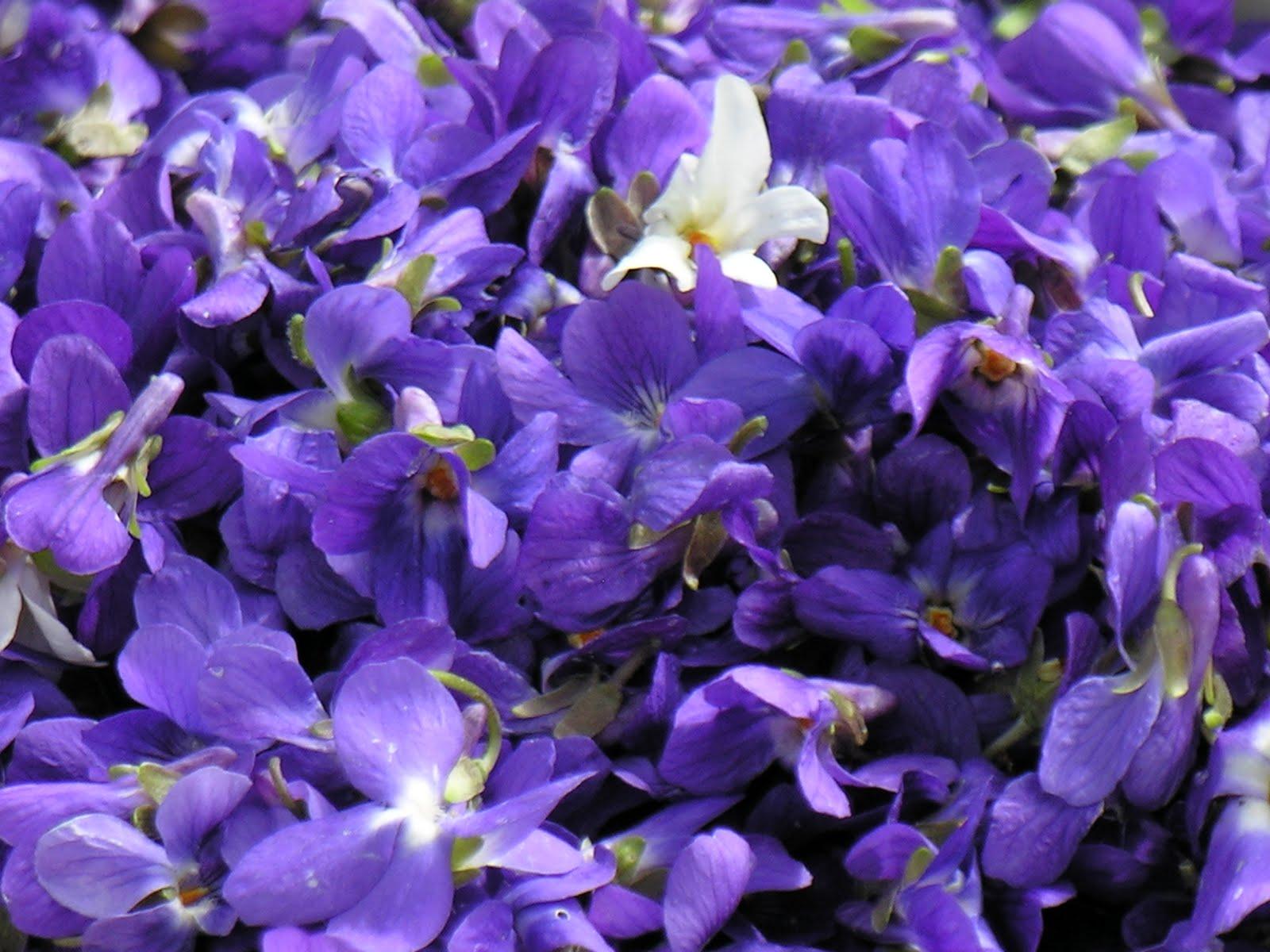 A fleur de go t gel e de violettes printemps - Image fleur violette ...