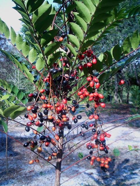 [30sept'09,tongkat+ali+fruits.jpg]