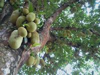 http://3.bp.blogspot.com/_dQ3_30IgJxY/SxKJp4S_ujI/AAAAAAAAA-8/AWNXdm2Rf2k/s1600/29nov%270,fruiting+cemepdak+tree.jpg