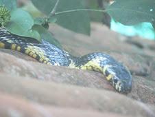 Serpentes