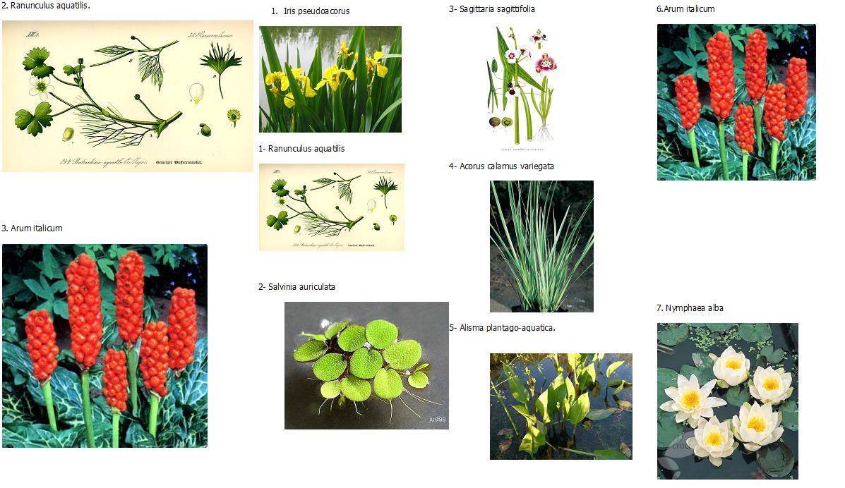 Vegetales acuaticos del guadalquivir mayo 2010 for 5 plantas ornamentales con sus nombres