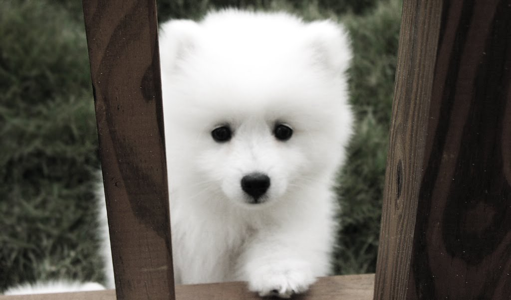 Samoyed+puppy+the+proposal