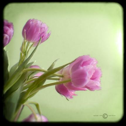 [Graceful+Purple+Tulips+on+Green]