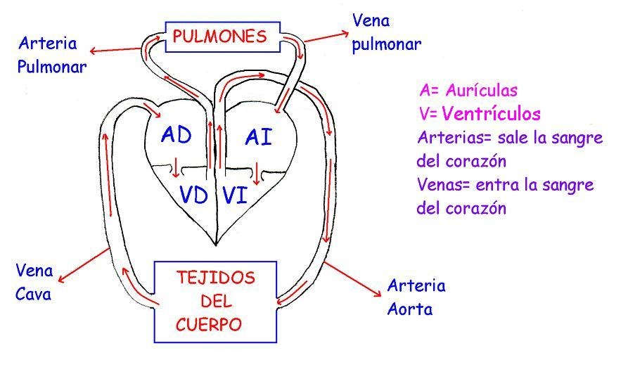 Circuito Circulatorio : Yaiiii esquema del aparato circulatorio
