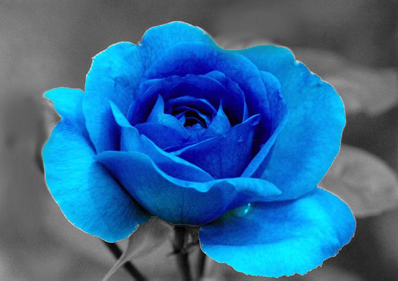Single Blue Rose Flowe...
