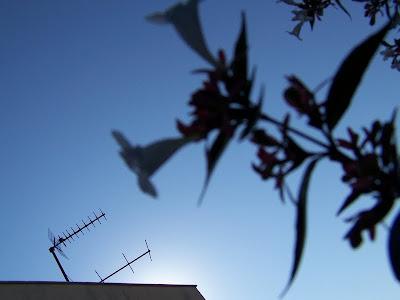 antenne rateau ^parabole parabolique abelia fleur pidic bordeaux encadrees photographie