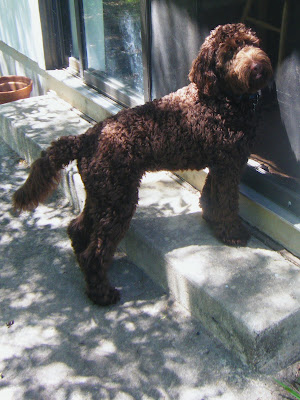 Alfie, chocolate labradoodle, standing with paws on back step waiting to be let in; his curly coat makes him look cuddly and soft
