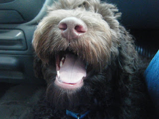 closeup of Alfie's open mouth, panting in the car on the way home